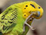 Κόψιμο των νυχιών στους παπαγάλους