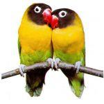 Έναν μόνο παπαγάλο η ζευγάρι