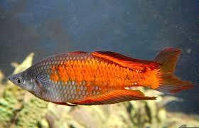 Ahren - Regenbopenfische