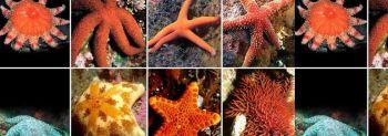 Τα εχινόδερμα των θαλασσών