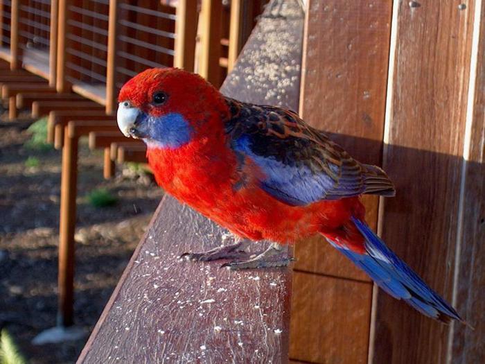 Παπαγάλος του Κονγκό