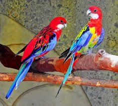 Παπαγαλάκι Ροζαλία