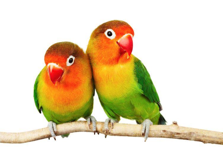 Αχώριστος (lovebird) με κεφάλι σε χρώμα ροδακινί (παπαγάλοι)