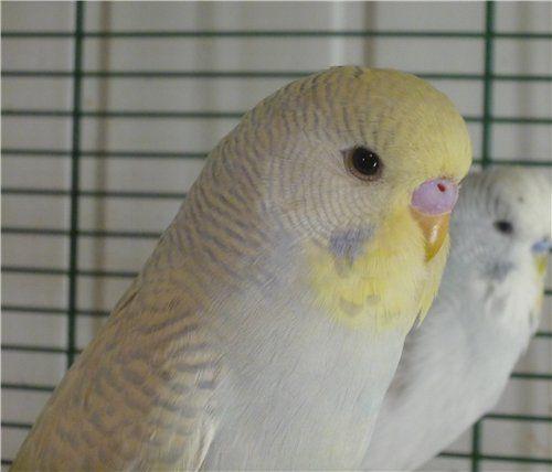 Αχώριστος (lovebird) με κεφάλι σε χρώμα καπνιάς (παπαγάλοι)