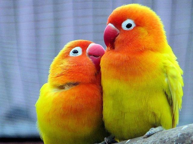 Παπαγάλοι - Αχώριστοι (lovebirds)