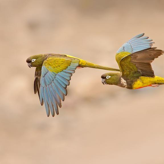 Παπαγαλάκι της Παταγωνίας