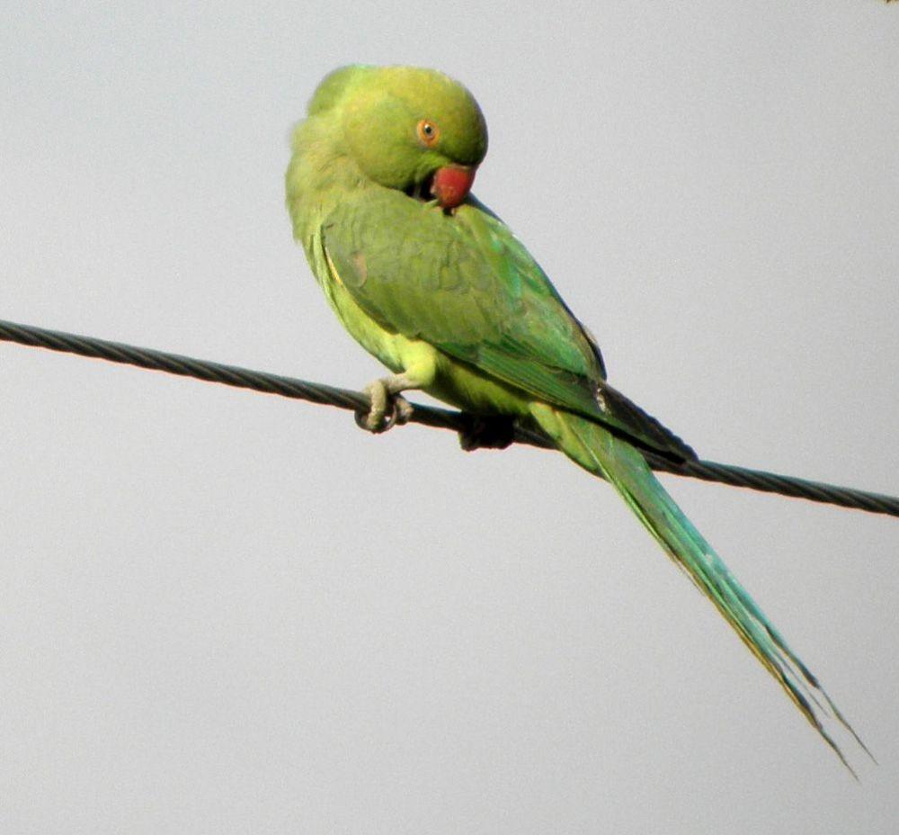 Μικρό αλεξανδρινό παπαγαλάκι