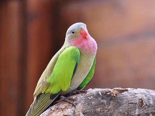 Παπαγαλάκι με μπλε λοφίο