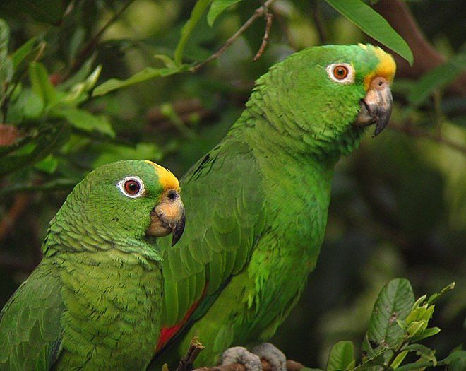 Αμαζόνιος του Παναμά