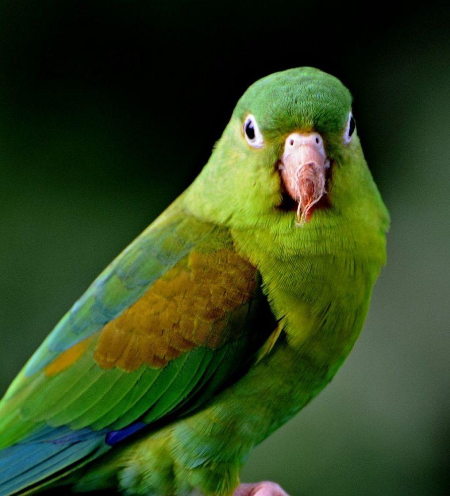 Παπαγαλάκι Τόρυ - Brotogeris jugularis