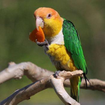 Παπαγάλος με καπέλο σε χρώμα σκουριάς