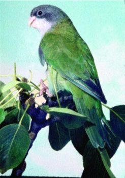 Παπαγαλάκι Αιμάρα