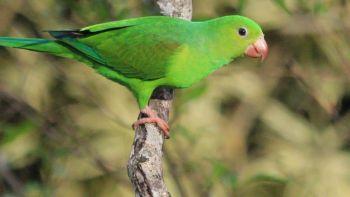 Παπαγαλάκι - Tirika