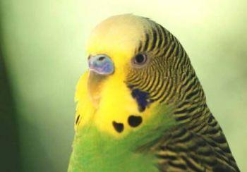 Όταν αγοράζετε παπαγάλο μη βιάζεστε