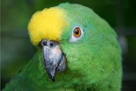 Αμαζόνιος με κίτρινη κορυφή