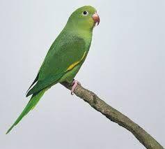 Παπαγαλάκι με καναρινί φτερούγες