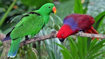 Ευγενής παπαγάλος