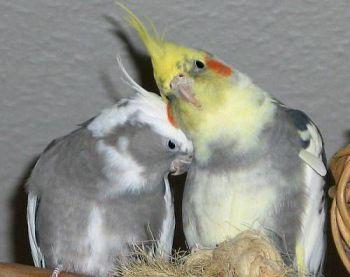 Διαφορές φύλου στους παπαγάλους
