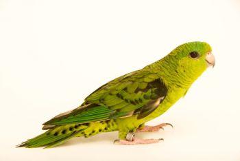 Βορβόρυγχο παπαγαλάκι
