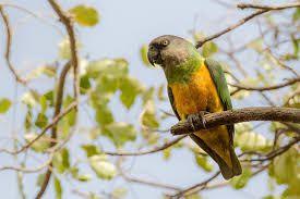 Παπαγάλος με κεφάλι νέγρου