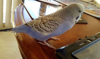 Ελεύθερη πτήση του παπαγάλου στο δωμάτιο