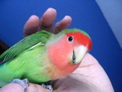 Αχώριστος (lovebird) με γκρίζο κεφάλι