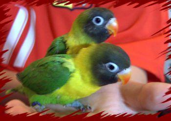 Ερυθρόλαιμος (παπαγάλος)