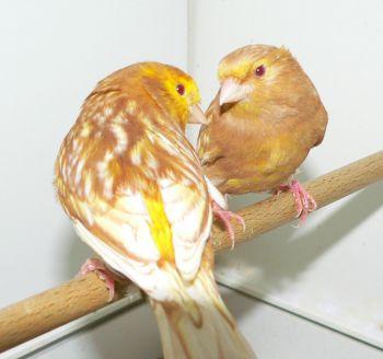 Η ανατροφή των νεοσσών - καναρίνια