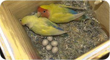 Η εκτροφή των παπαγάλων
