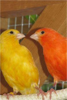 Εκτροφείς, καταστήματα ζώων και αγγελίες (καναρινια)