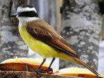 Από το άγριο στο κατοικίδιο πουλί