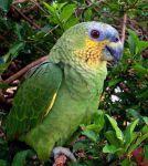 Αμαζόνιος με μπλε μέτωποA