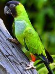 Παπαγαλάκι - Nanday
