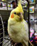 Κιτρινοπρόσωπος παπαγάλος στο μέγεθος του σπουργιτιού