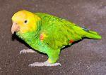 Αμαζόνιος με κίτρινο λαιμό