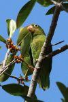 Παπαγαλάκι χρυσόφτερο Τουιπάρα