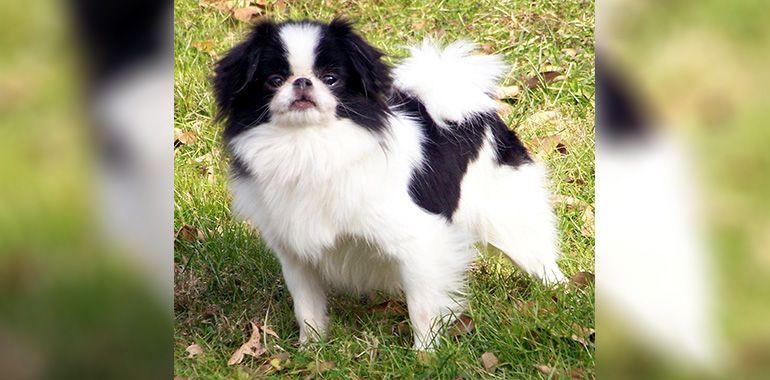 Το μικρόσωμο σκυλάκι Τσιν από την Ιαπωνία
