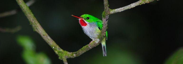 Το μικροκαμωμένο πουλί Tody
